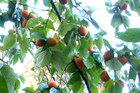 Persimmons_by_photoartist3_at_flickr_1